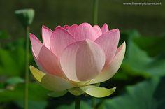 Google Image Result for http://www.flowerpictures.net/Flowerpictures/lotus_flowers_2006/images/lotus_flower_mobot-3.jpg