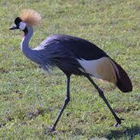 Afbeeldingsresultaat voor afrikaanse vogels afbeeldingen