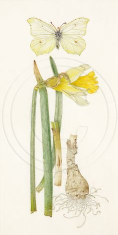 gallery1 botanical watercolour paintings of wild flora by Helga Crouch