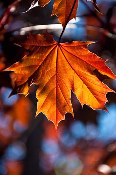 autumn scenes Light passes through a red maple leaf. Leaf Photography, Autumn Photography, Fall Pictures, Nature Pictures, Fall Pics, Autumn Nature, Autumn Leaves, Maple Leaf, Red Maple Tree