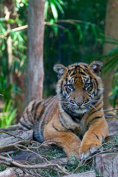 Sumatran tiger cub called Hutan, Melbourne Zoo by Liz Rogers