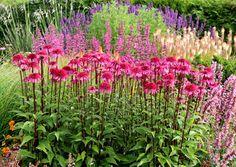 Echinacea Supreme� 'Elegance'