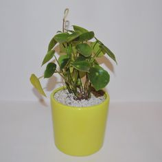 Peperomia Polybotrya 💚......... Plant Care, Evergreen, Planter Pots, Tropical, Tips, Plants, Plant, Planets, Counseling