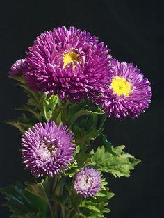 Aster Print by Daniel Csoka Lavender Flowers, Purple Flowers, Paper Flowers, Amazing Flowers, Beautiful Flowers, Aster Flower, Herbal Magic, My Secret Garden, Cactus