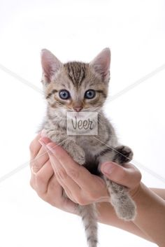 Hands holding a kitten on white   background Stock Photo
