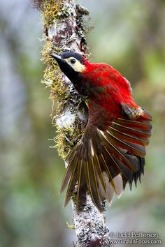 Crimson-mantled Woodpecker - Google Search