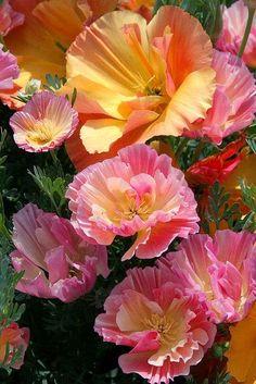 California Poppy 'Rose Chiffon' and 'Apricot Chiffon'