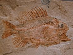 A fine example of the Order Perciformes, Family Serranidae, or Sea Basses. This…
