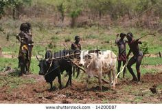 ethiopia tribal-people-cultivating-a-field-with-draught-animals
