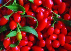 Bacche di Goji frutto fresco (Goji berries fresh fruit)