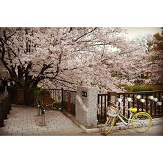 "【xiled_waffle】さんのInstagramをピンしています。 《Yamazaki River ""Four Seasons Road"" Bicycle resting on a bridge along the Yamazaki River during Hanami season in Nagoya  #hanami2016 #hanami #yamazakiriver #nagoya #sakura #fourseasonsroad #山崎川 #山崎川桜 #瑞穂運動場 #瑞穂公園 #花見 #名古屋 #桜 #四季の道》"