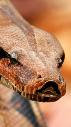 Boa constrictor <3