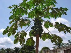 Image result for papaya fruit liberia africa
