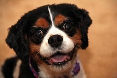 #DogBrigade: My Pet Partner's name is Roxie. Roxie is a Cavalier King Charles Spaniel, famous for their affectionate nature. We had the honor of participating in Akron Children's Doggie Brigade from July of 2011 to June of 2012.  Though we only had one year of visiting due to Roxie's heart condition, we still accumulated a fair amount of stories for our memory banks.