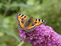 Buddleia or Butterfly Bush - An Easy to Grow Shrub for the Garden - News - Bubblews