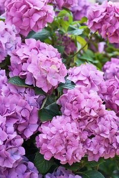 Laura Ashley Blog | HEAVENLY HYDRANGEAS | http://blog.lauraashley.com