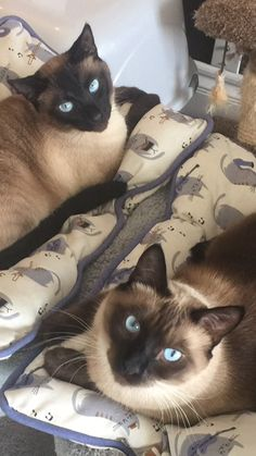 Siamese Cat Gallery - Cat's Nine Lives I Love Cats, Crazy Cats, Cute Cats, Kittens Cutest, Cats And Kittens, Animals And Pets, Cute Animals, Tonkinese, Oriental Cat