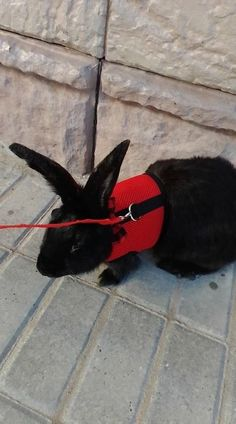 Best Leash, Lead and  Harness for Rabbits!              Rabbit - Collars, Leads Rabbit Facts, Rabbit Breeds, Rabbit Eating, Bunny Care, House Rabbit, Pet Accessories, Guinea Pigs, Color Red, Red Black