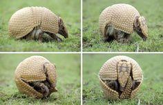 Saiba mais sobre o Tatu-bola, animal da Caatinga e do Cerrado em risco de extinção.