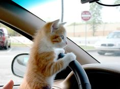 cats in cars | Chihuahuas seem to be naturally smart drivers. Right at the end you ...