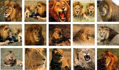 Lions Digital Collage 15 inch / 122 by LisaChristines on Etsy, $1.50