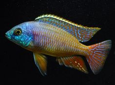 Find information about keeping the Super Red Empress Cichlid or Protomelas taeniolatus (Red) in a home aquarium, including advice for feeding and breeding your Super Red Empress Cichlid. Pretty Fish, Cool Fish, Beautiful Fish, Malawi Cichlids, African Cichlids, Freshwater Aquarium Fish, Saltwater Aquarium, Aquascaping, Valle Del Rift