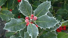 Christmas Plants Wallpaper