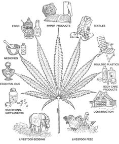 HEMP and CANNABIS both come from the same plantCannabis Sativa L. Hemp and Cannabis or Marijuana are common names of two plants with a confused history. Many pe Medical Marijuana, Marijuana Facts, Ganja, Planta Cannabis, Endocannabinoid System, Hemp Oil, Hydroponics, Kentucky, Herbalism