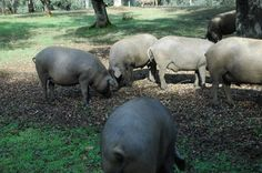 Felicidad en medio de la naturaleza la que estos cerdos ibéricos tienen degustando el magnífico manjar de la bellota, pero no se convertirán ellos en un manjar mejor??  Beautiful Iberian Pigs free in the fields enjoying their feast of acorn, that is precisely what makes them so delicious and unique afterwards!