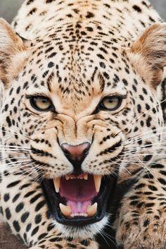 Самые популярные тэги этого изображения включают: animal, tiger, leopard, eyes и wild