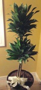 Dracaena Compacta plant grown as a topiary. Read care tips:  http://bit.ly/1lx0kVZ