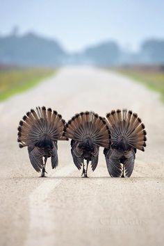 Three trotting turkeys