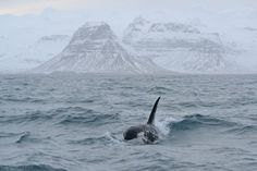 Orca bull with his tall and erect dorsal fin breaks through the waves with the magnificent snow-capped Mount Kirkjufell in the background.