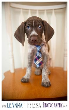 German Short Haired Pointer | GSP | German Short Haired Pointer Puppy | New Jersey | NJ Photographer |Professional Photographer