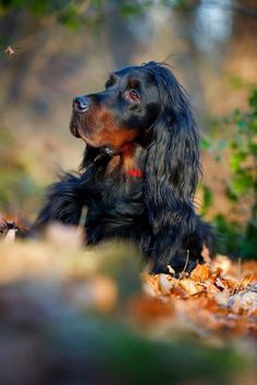 The Gordon Setter comes from Scotland and was bred originally to hunt small game. It's origins can be dated back to the 1600's