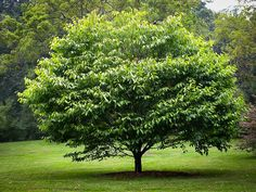American Hornbeam-20-35', partial shade understory tree, slow growing, globular form, good fall color