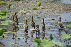 http://www.greatnepaltravels.com/koshi-tappu-wildlife-reserve.html