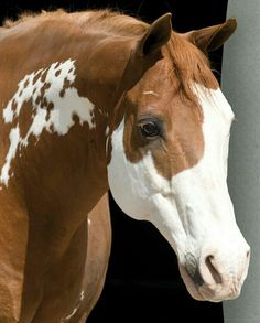 American Paint Horse!
