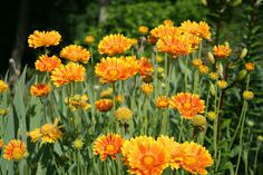gaillardia fanfare - Google Search Recommended for poor soils.