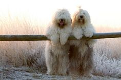 Old English Sheep Dogs--Soooo adorable but talk about high maintenance with that coat of theirs! I know from experience.