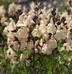 SALVIA x jamensis 'Melen' Salvia, Fruit, Plants, The Fruit, Plant, Planting, Planets