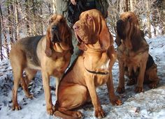Bloodhounds- Look at that gorgeous breed! I will have one someday