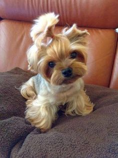 Yorkie Yorkshire Terrier ___ Click the Link in my Bio < and what you will find there use it as a Gift. Cute Teacup Puppies, Teacup Yorkie, Cute Puppies, Cute Dogs, Dogs And Puppies, Teacup Dogs, Baby Dogs, Tea Cup Yorkie Puppies, Silly Dogs