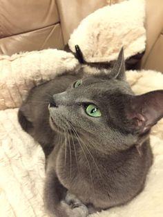 Filiz #russischblau #russianblue #katzen #cats