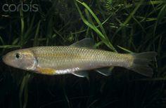 macrognathus siamensis spot finned spiny eel peacock eel beautiful ...