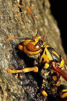 Paper Wasp (Polistes rothneyi) | by John Horstman (itchydogimages, SINOBUG)