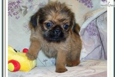 Griffonshire Puppies | ... - Yorkie puppy for sale for $500. Beautiful Tiny Female Griffonshire