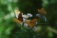 #farfalle #butterfly  ...Incastonato nel cuore dell'Appenino Tosco-Romagnolo, al confine tra Romagna e Toscana, Bagno di Romagna Terme è un piccolo borgo dall'antichissima storia, nella suggestiva cornice del Parco Nazionale Foreste Casentinesi www.bagnodiromagnaterme.it