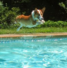 The Daily Corgi: It's the Weekend ...