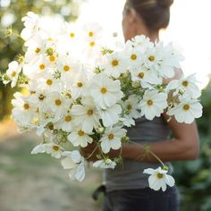 An armful of cosmos from to celebrate this morning's blue blood moon. Cosmos Flowers, White Flowers, Beautiful Flowers, Cosmos Wedding Flowers, White Cosmo, Arte Floral, Flower Farm, Plantation, Gardening